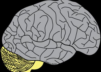 Cerebellum and brainstem