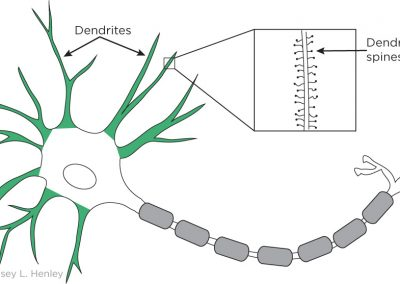 Dendrites and spines