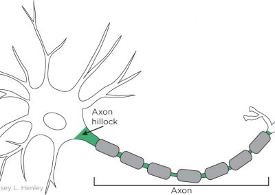 Axon and axon hillock